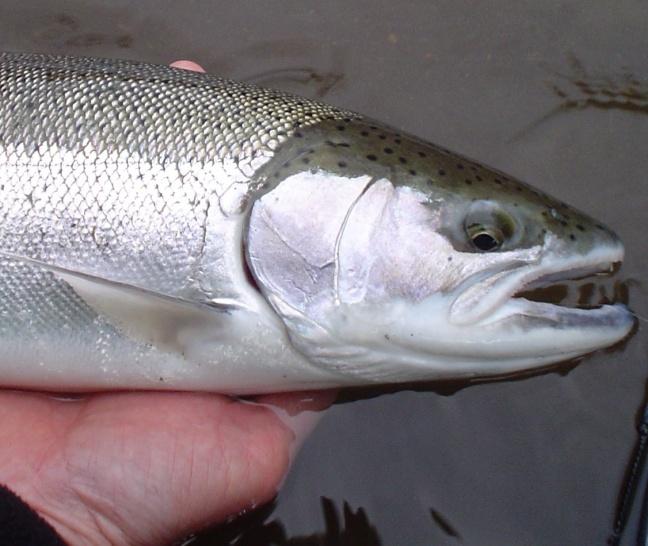 Salmon Sex 106