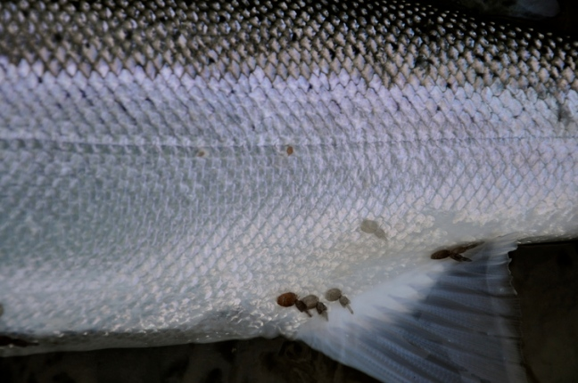 Dean River Sea Lice at Kimsquit Bay Lodge-  Fish the Swing.