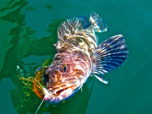 Pacific Lingcod on the fly in Oregon nearshore waters.
