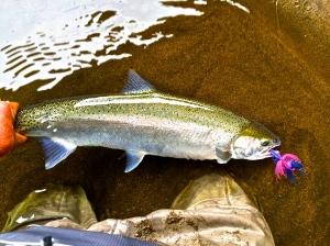 Oregon coastal Hatchery winter steelhead on the swing to an Intruder no less on an Echo Glass Switch rod.