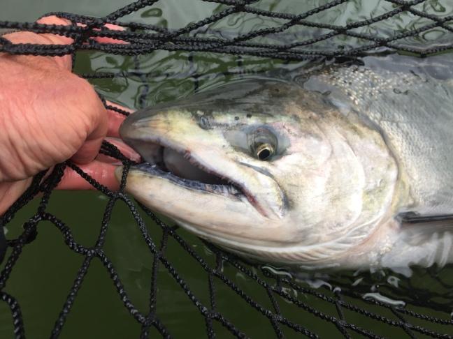 Jay Nicholas Oregon Chinook Salmon a
