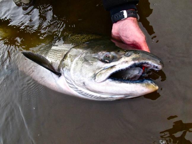 Jay Nicholas Yesterday's salmon.jpg